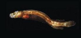 fatfish1