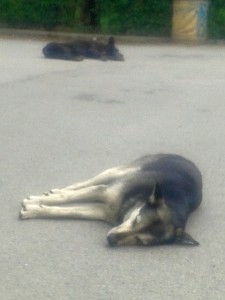 The Wild Dogs of Sofia are a placid and gentle lot. In Trump's America, they'd tear your fucking throat out.